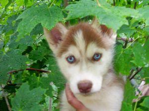 Siberian Husky Puppies in Michigan