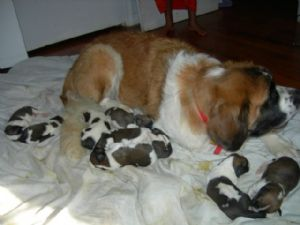 Saint Bernard Puppies In South Carolina