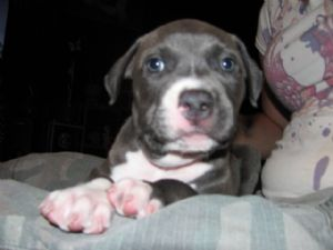 American Pit Bull Terrier Puppies in Indiana