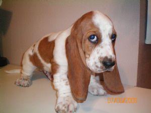 Basset Hound Puppies In Iowa
