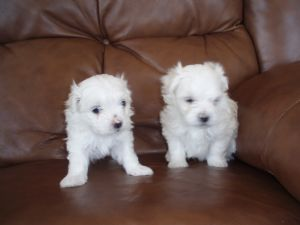 maltese puppies for sale in colorado maltese puppies in colorado 4916