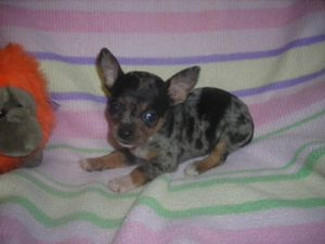 Chihuahua Puppies in Illinois