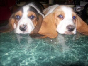 Basset Hound Puppies In Oklahoma