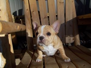 French Bulldog Puppies in Illinois