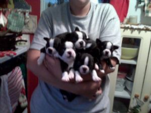 Boston Terrier Puppies In Arizona