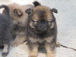 Pomeranian Puppies In Louisiana