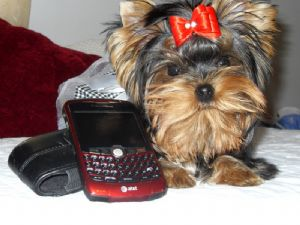 Yorkshire Terrier Puppies in Kentucky