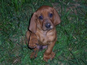 Red Bone Coon Dogs For Sale In Nc