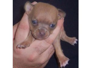 Chihuahua Puppies in Kentucky