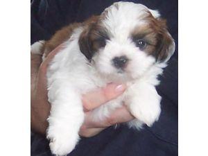 Shih Tzu Puppies In Kentucky