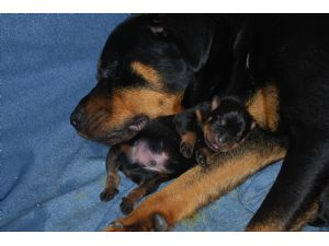 Rottweiler Puppies In Maryland