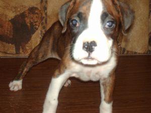 Boxer Puppies In Georgia