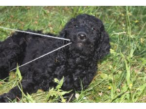Recommended goldendoodle and labradoodle breeders in kentucky u s a