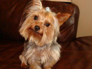 Yorkshire Terrier Puppies in Florida