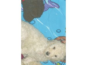 Standard Poodle Puppies In Tennessee