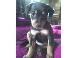 min pin chihuahua mix puppies for sale miniature pinscher puppies for sale 8854