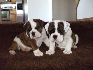 English Bulldog Puppies in Washington