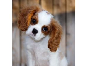 Cavalier Puppies For Sale In Ohio