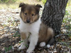 Collie Puppies In Texas