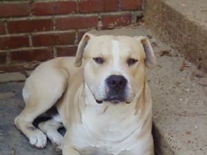 American Pit Bull Terrier Puppies in Tennessee