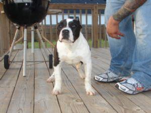 American Pit Bull Terrier Puppies in Georgia