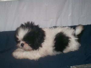 Shih Tzu Puppies In Alabama