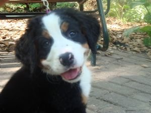 Bernese Mountain Dog Puppies In Michigan