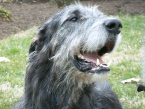irish wolfhound rescue