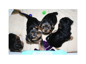 Yorkshire Terrier Puppies In Pennsylvania