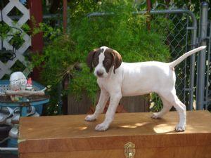 Pointer Puppies In Washington