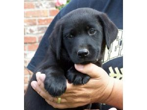 Labrador Retriever Puppies in Indiana