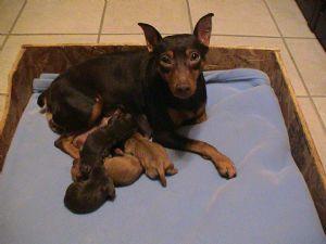 Miniature Pinscher Puppies In Illinois