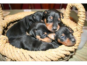 Miniature Pinscher Puppies in South Carolina