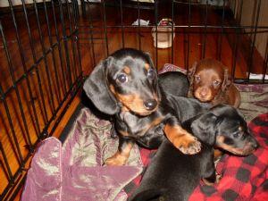 Dachshund Puppies in Kentucky