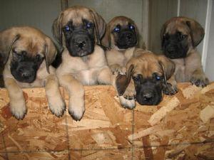 Mastiff Puppies in Arizona