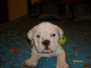 English Bulldog Puppies in Montana