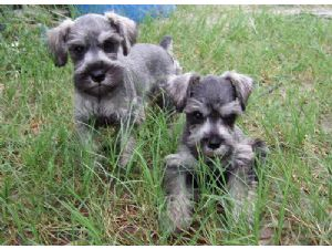 Miniature Schnauzer Puppies In Florida