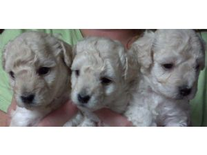 Toy Poodle Puppies in Georgia