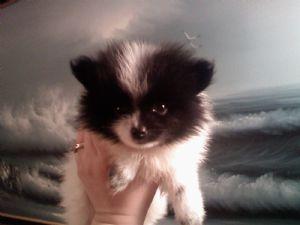 Pomeranian Puppies In California