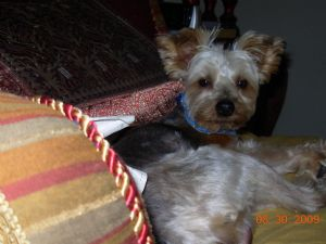 male yorkie 911 73 miles breed yorkshire terrier 333 location webster ... Yorkshire Terrier 911