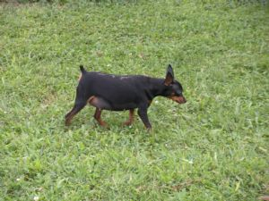 Miniature Pinscher Puppies in Indiana