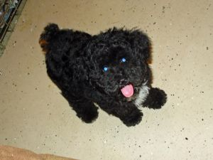 Toy Poodle Puppies In Kansas