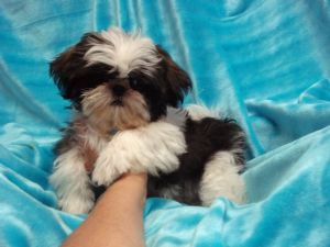 Shih Tzu Puppies In Kansas