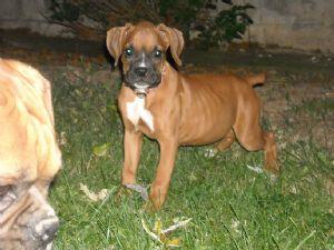 Boxer Puppies in Kentucky