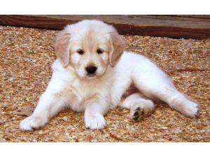 Golden Retriever Puppies In Mississippi