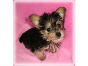Yorkshire Terrier Puppies in Arkansas