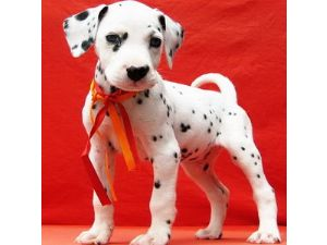 Dalmatian Puppies In Florida