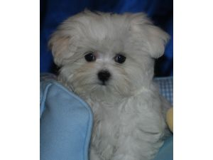 maltese puppies for sale in ms maltese puppies in mississippi 5617