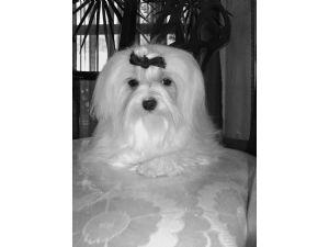 Maltese Puppies in Oklahoma