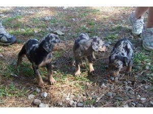 Catahoula Leopard Dog Puppies In Oklahoma